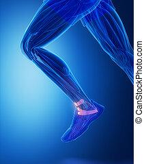 -, gewebe, knöchel, koerperbau, menschliche , ligamente, verbindend