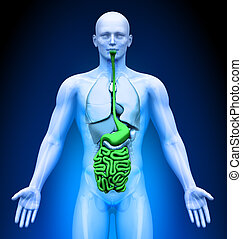 -, medizin, eingeweide, organe, imaging