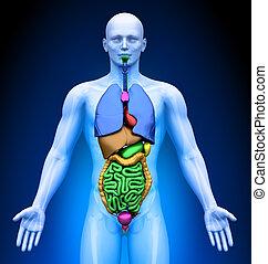-, medizin, mann, organe, imaging