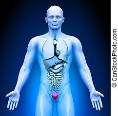 -, medizin, organe, imaging, blase