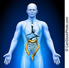-, medizin, organe, imaging, doppelpunkt