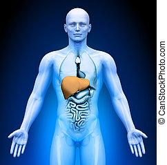 -, medizin, organe, imaging, leber