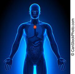 -, medizin, thymusdrüse, imaging, mann, organe