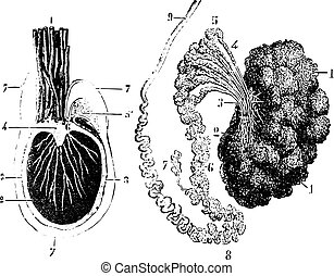1885., tunica, illustration., wörterbuch, hoden, weinlese, abschnitt, -, kreuz, vaginalis, epididymis, labarthe, graviert, medizinprodukt, dr, üblich