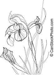 2, iris, zeichnung