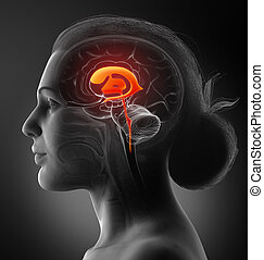 3d, übertragung, koerperbau, abbildung, weibliche , gehirn, ventrikel, medizin