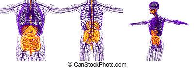 3d, die medizinische Abbildung des menschlichen Verdauungssystems.