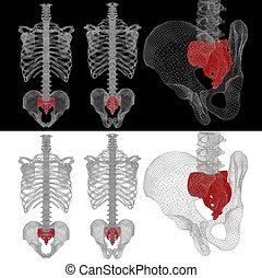 3D Illustration medizinisches Konzept von Sacrum.