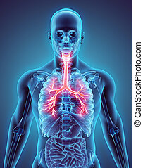 3D Illustration von Larynx trachea bronchi.