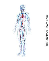 3d illustrierte das menschliche Gefäßsystem.