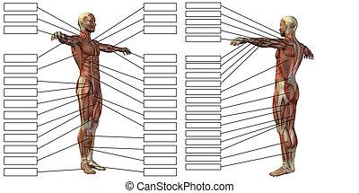 3d, koerperbau, muskel, menschliche , textbox, mann
