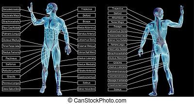 3d, menschliche anatomie, text, mann, muskel