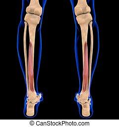 3d, muskel, beugemuskel, abbildung, digitorum, medizin, longus, begriff, koerperbau
