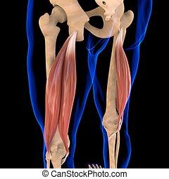 3d, muskel, femoris, abbildung medizinisch, begriff, koerperbau, bizeps