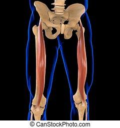 3d, muskel, femoris, abbildung medizinisch, begriff, rectus, koerperbau