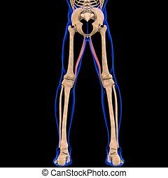 3d, muskel, gracilis, abbildung medizinisch, begriff, koerperbau