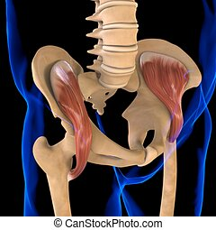 3d, muskel, iliacus, abbildung medizinisch, begriff, koerperbau