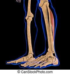 3d, muskel, peroneus, abbildung medizinisch, longus, begriff, koerperbau