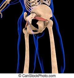 3d, muskel, piriformis, abbildung medizinisch, begriff, koerperbau