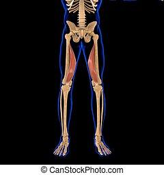 3d, muskel, vastus, abbildung medizinisch, begriff, medialis, koerperbau