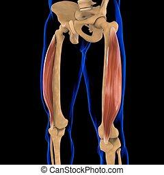 3d, muskel, vastus lateralis, abbildung medizinisch, begriff, koerperbau