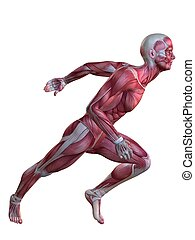 3D Muskelmodell