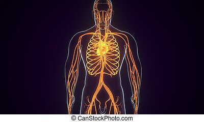 3d, vaskulär, menschliche anatomie, abbildung, system, geleistet