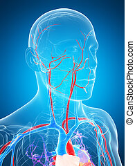 3D zeigt das menschliche Gefäßsystem