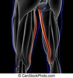 abbildung, 3d, begriff, muskel, koerperbau, gracilis, medizin