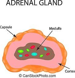 abbildung, anatomisch, vektor, gland., adrenal, struktur