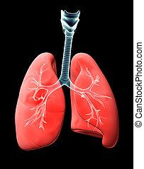 abbildung, lungs., durchsichtig, röntgenaufnahme, 3d