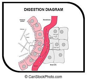 abdominal, verdauung, gewebe, diagramm