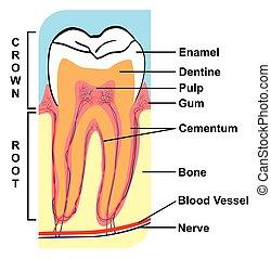 abschnitt, kreuz, zahn