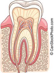 abschnitt, medizinische abbildung, zahn