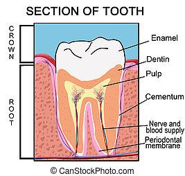 abschnitt, zahn