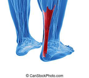 Achilles tendon mit unteren Beinmuskeln.