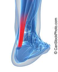 Achilles tendon.