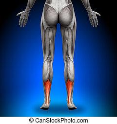 Achilles tendon - weibliche Anatomie mu.