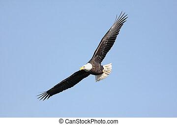 Adult kahlköpfiger Adler (haliaetus leucocephalus)