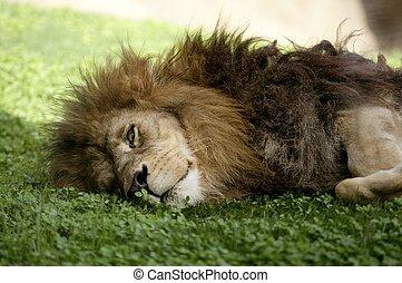 Aficanischer männlicher Löwe