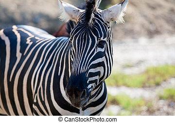Afrikanisches Zebra-Portrait horizontal.