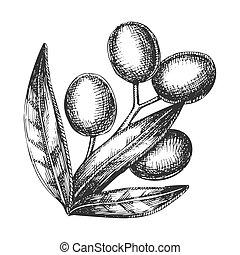 Agrikultureller Olivenbaum Zweig Vintage Vektor