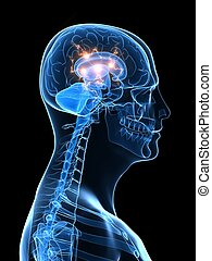 Aktives Gehirn
