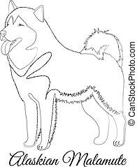 alaskisch malamute, rasse, hund, grobdarstellung