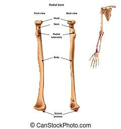 alles, anatomy., name, zurück, sites., knochen, menschliche , strahlig, front, ansicht., struktur, beschreibung