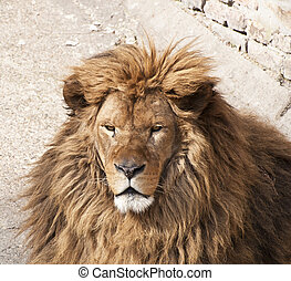 Altes Löwenporträt