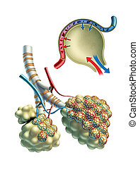 alveolen, pulmonar