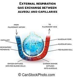 Alveoli Anatomie, Atmung.