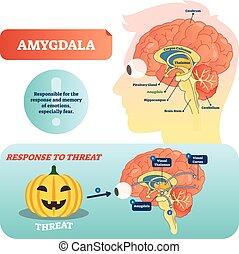 Amygdala-Medizin beschriftete Vektorgrafik und -schema als Reaktion auf Bedrohung.