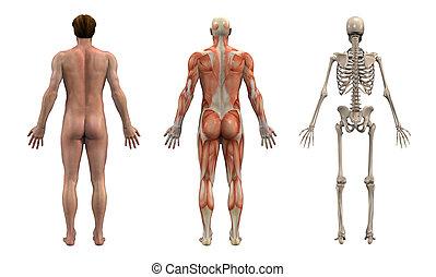 Anatomie-Überlagerungen - männlich